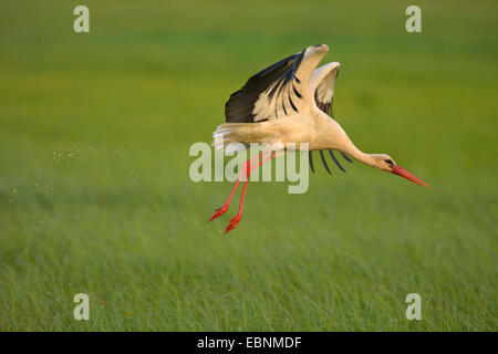 white stork (Ciconia ciconia), taking off a marsh meadow, Austria, Burgenland, Neusiedler See National Park - Stock Photo