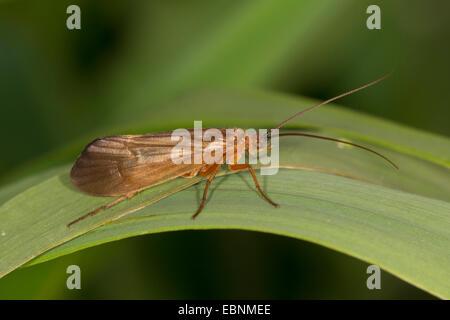 caddis flies (Trichoptera), caddis fly on a leaf, Germany, Bavaria - Stock Photo
