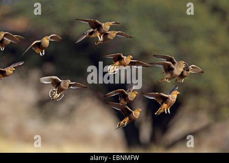 namaqua sandgrouse (Pterocles namaqua), flock touchs down at a waterhole, South Africa, Kgalagadi Transfrontier - Stock Photo