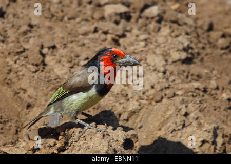 Black-collared barbet (Lybius torquatus), sitting on the ground, South Africa, Mkuzi Game Reserve - Stock Photo