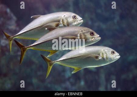 bigeye trevally, large-mouth trevally, jackfish (Caranx elacate, Caranx sexfasciatus), three jackfishes swimming - Stock Photo