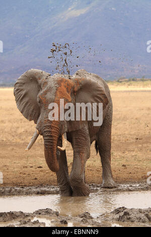 African elephant (Loxodonta africana), bull taking a mud bath at a water hole in ferrous red soil, Kenya, Tsavo - Stock Photo