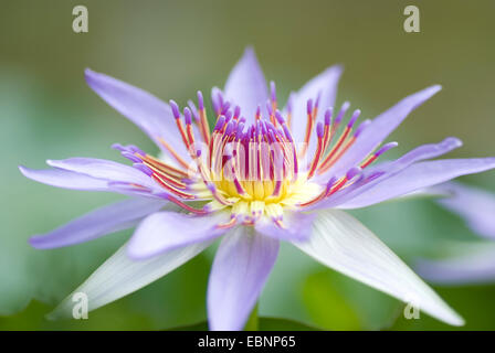 Tropical waterlily, Blue Pigmy (Nymphaea colorata), single flower - Stock Photo