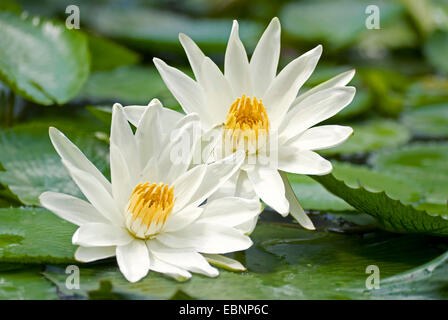 Egyptian water lily, white egyptian lotus (Nymphaea lotus), two flowers - Stock Photo