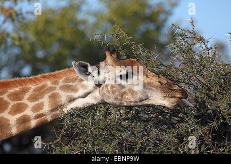 Cape giraffe (Giraffa camelopardalis giraffa), eating leaves from a thorny shrub, South Africa, Kruger National - Stock Photo