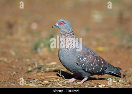 speckled pigeon (Columba guinea), standing on the ground, South Africa, Pilanesberg National Park - Stock Photo
