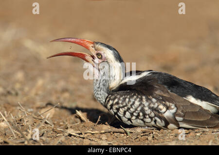 red-billed hornbill (Tockus erythrorhynchus), eats an insect larva, South Africa, Kruger National Park - Stock Photo