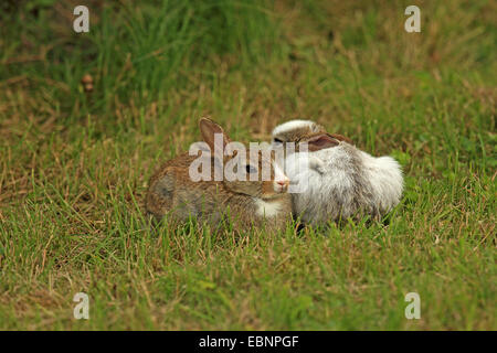 European rabbit (Oryctolagus cuniculus), two rabbits sitting next to each other in a meadow, partial leucism, Germany, - Stock Photo