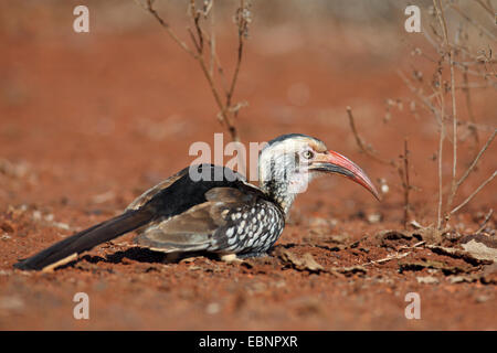 red-billed hornbill (Tockus erythrorhynchus), looks for food in the soil, South Africa, Kruger National Park - Stock Photo