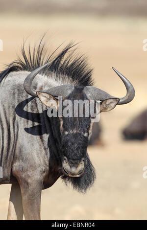 blue wildebeest, brindled gnu, white-bearded wildebeest (Connochaetes taurinus), headportrait, South Africa, Kgalagadi - Stock Photo