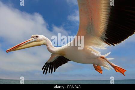 eastern white pelican (Pelecanus onocrotalus), flying, Namibia, Walvis Bay - Stock Photo
