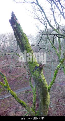 common beech (Fagus sylvatica), broken beech trunk in a beech forest in winter, Germany, Mecklenburg-Western Pomerania, - Stock Photo
