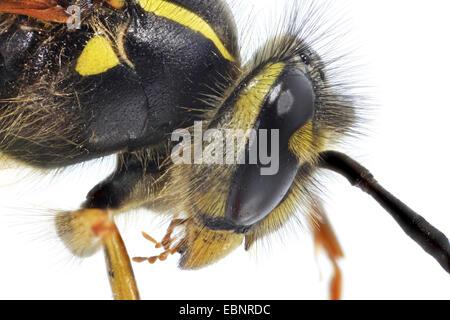 common wasp (Vespula vulgaris, Paravespula vulgaris), macro shot of the queen - Stock Photo