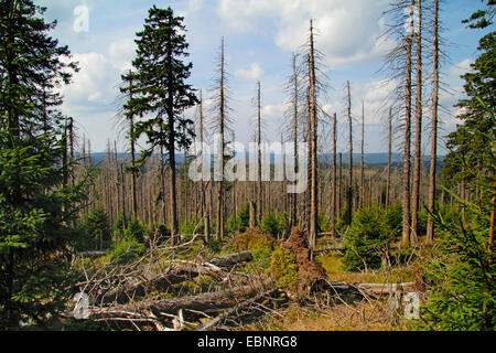 Norway spruce (Picea abies), dead spruces at the mountain Brocken, Germany, Saxony-Anhalt, Harz National Park - Stock Photo