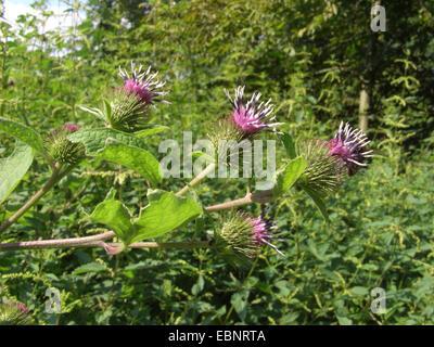 common burdock, lesser burdock (Arctium minus, Arctium minus ssp. minus), blooming, Germany - Stock Photo
