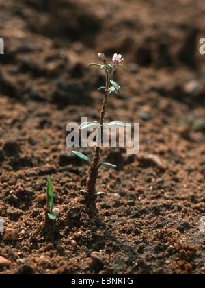 small toadflax, common dwarf snapdragon (Chaenorhinum minus, Chaenarhinum minus), bloomimg, on sand, Germany - Stock Photo