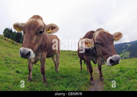 domestic cattle (Bos primigenius f. taurus), two cows on alpine pasture, Switzerland, Alps - Stock Photo