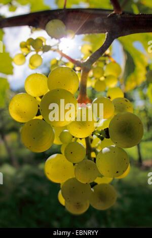 grape-vine, vine (Vitis vinifera), sun shines through fruits on vine stock, Germany, Baden-Wuerttemberg, Ortenau - Stock Photo