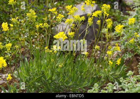 Buckler mustard (Biscutella laevigata), blooming, Germany - Stock Photo