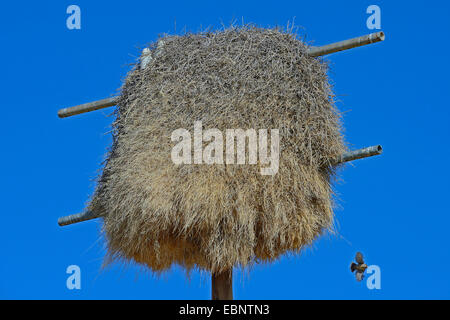 sociable weaver (Philetairus socius), nesting colonies at a former power pole, Namibia, Keetmanshoop - Stock Photo