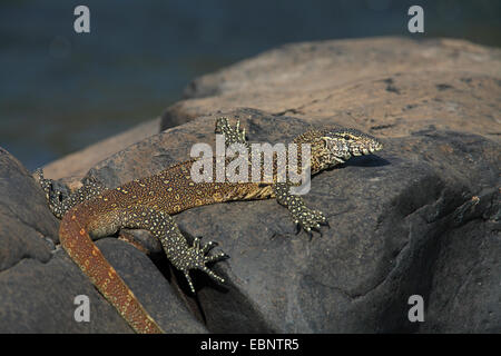 Nile monitor (Varanus niloticus), lying on a stone in the water, South Africa, Kruger National Park - Stock Photo