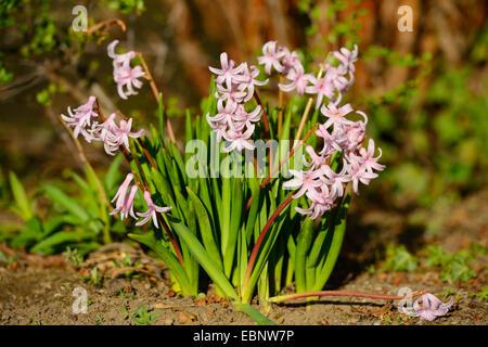 Jacinthe (Hyacinthus orientalis), blooming - Stock Photo
