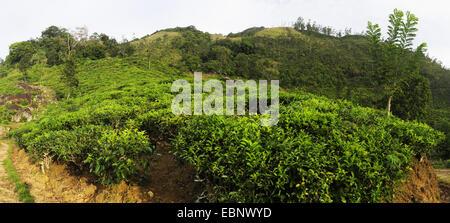 tea plant (Camellia sinensis, Thea sinensis), tea plantation at Sri Lanka, Ceylon Tea, Sri Lanka, Morning Side - Stock Photo