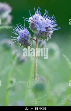 bee food, tansy scorpion-weed (Phacelia tanacetifolia), inflorescence - Stock Photo