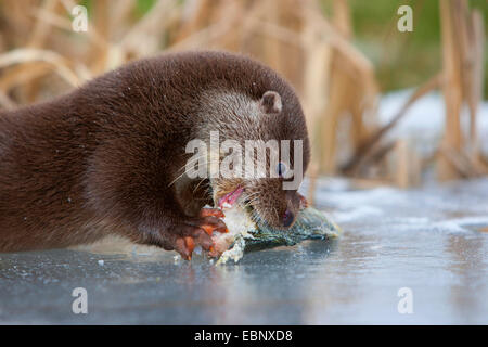 European river otter, European Otter, Eurasian Otter (Lutra lutra), female eating a catched redfin perch, Germany - Stock Photo