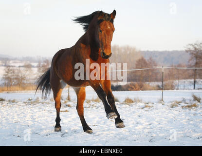 domestic horse (Equus przewalskii f. caballus), Hungarian warmblood, brown, pacing in a snowy paddock, Germany, - Stock Photo