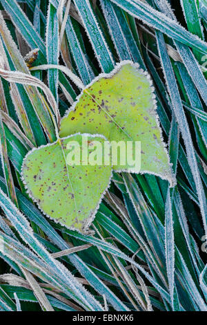 poplar leaves with hoarfrost on grass, Germany, Lower Saxony - Stock Photo