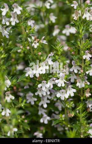 Winter savory (Satureja montana), blooming - Stock Photo