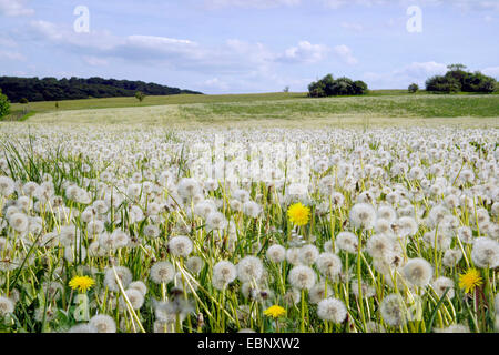 common dandelion (Taraxacum officinale), withered dandelion meadow, Germany, North Rhine-Westphalia, Eifel - Stock Photo