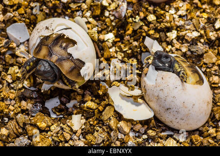 Hermann's tortoise, Greek tortoise (Testudo hermanni), hatching from the egg, Germany - Stock Photo