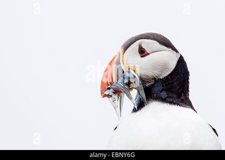 Atlantic puffin (Fratercula arctica), with caught sandeels in bill, portrait in front of white sky. High-key lighting, - Stock Photo
