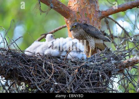 Baby sparrow hawk - photo#36