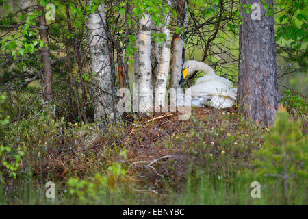whooper swan (Cygnus cygnus), swan in the nest with freshly hatched chicks, Finland - Stock Photo