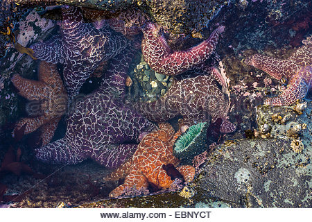 Purple and ochre sea stars (Pisaster ochraceus) in a tide pool in Olympic National Park (Washington State - USA) - Stock Photo