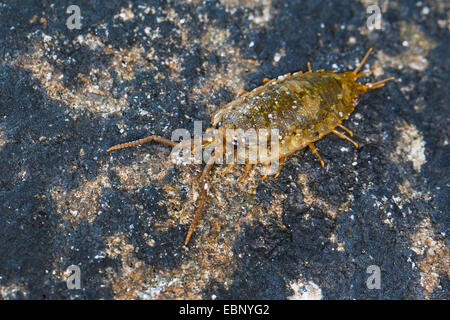 Great sea-slater, Sea slater, Quay-louse, Sea roach, Littoral woodlouse (Ligia oceanica), on a stone, Germany - Stock Photo