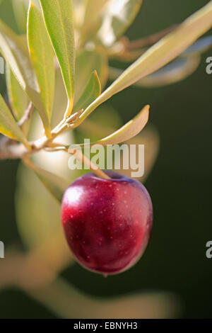 olive tree (Olea europaea), olive in a branch - Stock Photo
