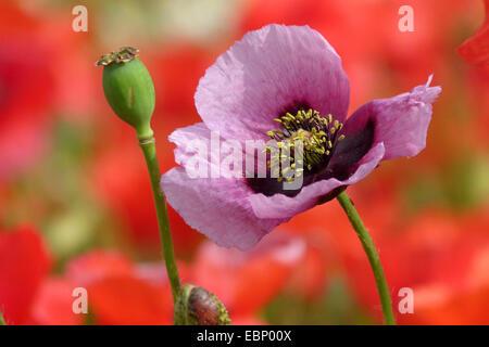 opium poppy (Papaver somniferum), in front of a poppy field, Germany - Stock Photo