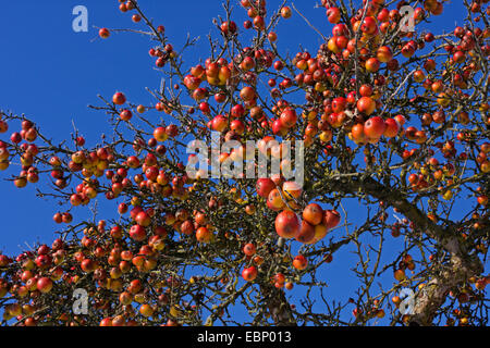 apple tree (Malus domestica), apple tree with ripe appels in winter, Germany, Baden-Wuerttemberg - Stock Photo