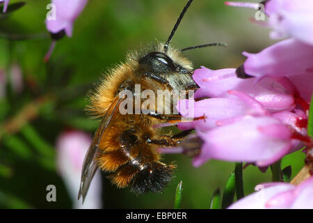 red mason bee (Osmia rufa, Osmia bicornis), at heath flowers, Germany - Stock Photo