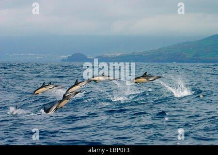 common dolphin, short-beaked Common Dolphin, saddleback(ed) dolphin, crisscross dolphin (Delphinus delphis), school - Stock Photo
