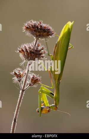 European preying mantis (Mantis religiosa), head first at an inflorescence, Germany, Baden-Wuerttemberg - Stock Photo