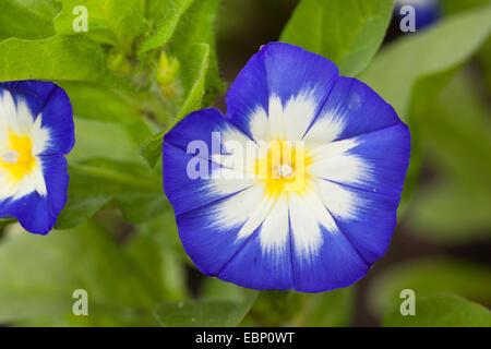 Dwarf convolvulus, Dwarf Morning Glory, Dwarf glory bind (Convolvulus tricolor, Convolvulus minor), flower - Stock Photo
