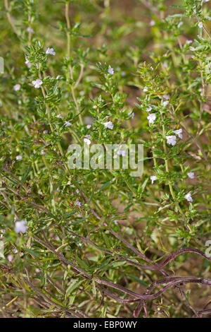 Summer savory, Calamint (Satureja hortensis), blooming - Stock Photo