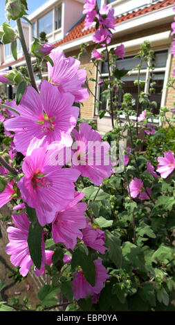 Bush mallow, bush mallow (Lavatera olbia), blooming in a frontgarden - Stock Photo