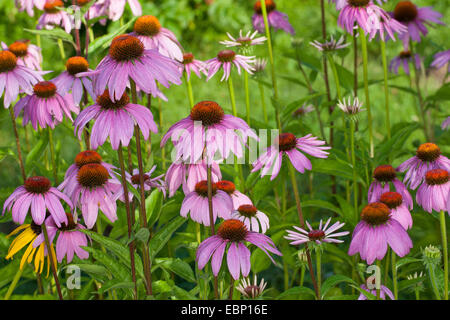 Purple Cone Flower, Eastern purple-coneflower, Purple-coneflower (Echinacea purpurea, Rudbeckia purpurea, Brauneria - Stock Photo