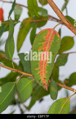 Longbeak eucalyptus, river redgum, river red gum (Eucalyptus camaldulensis), branch - Stock Photo
